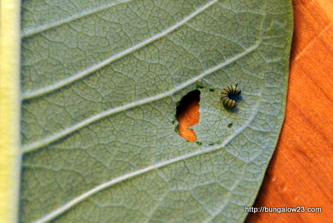 baby caterpillar on milkweed