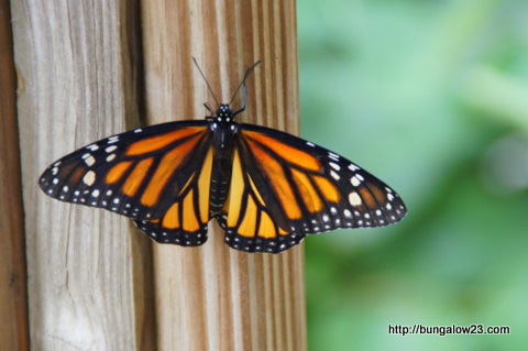 monarch on deck rail