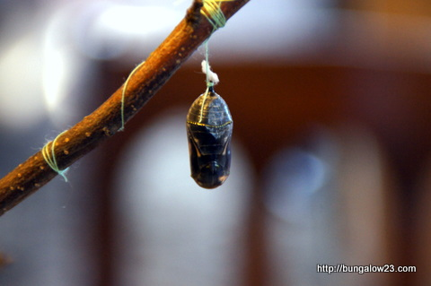 transparent chrysalis