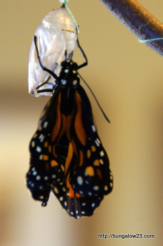 monarch wings expanding