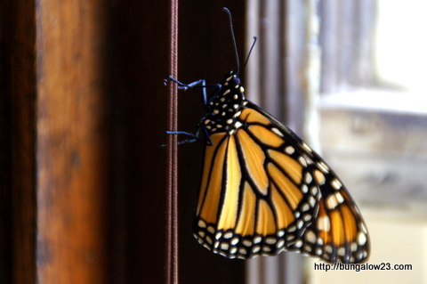 monarch on window string